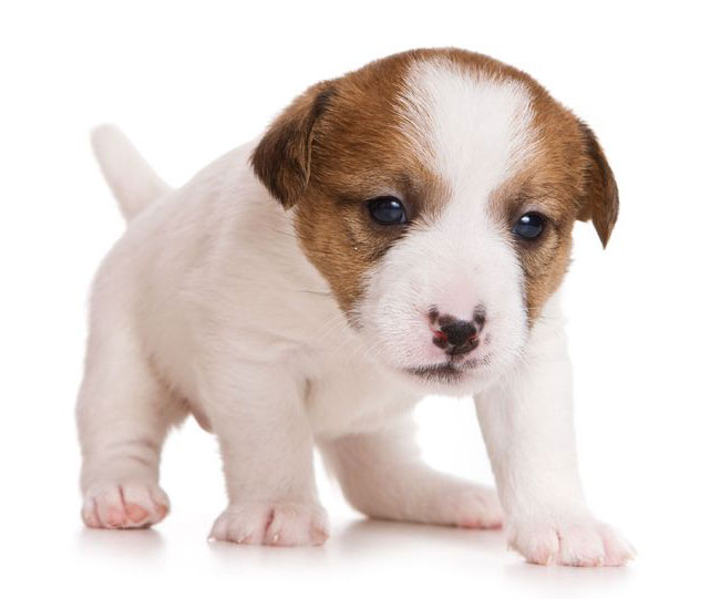 cute puppy on white background