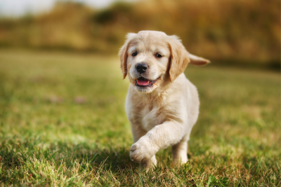 Cute puppy running in fields