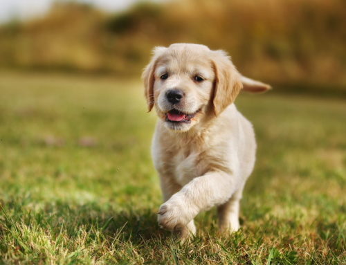 Caring for a New Puppy – 3 Easy Steps