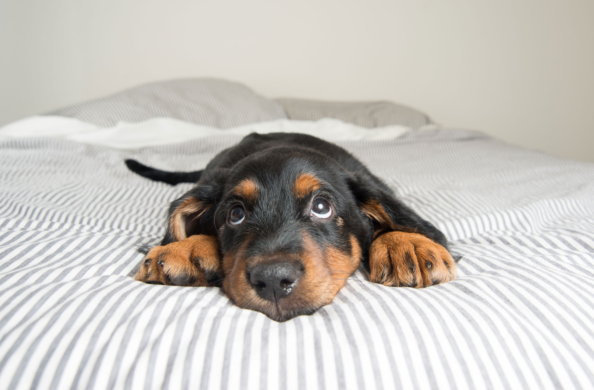 Cute Rottweiler Mix Puppy Sleeping on Striped White and Gray Sheets on Human Bed Looking at Camera