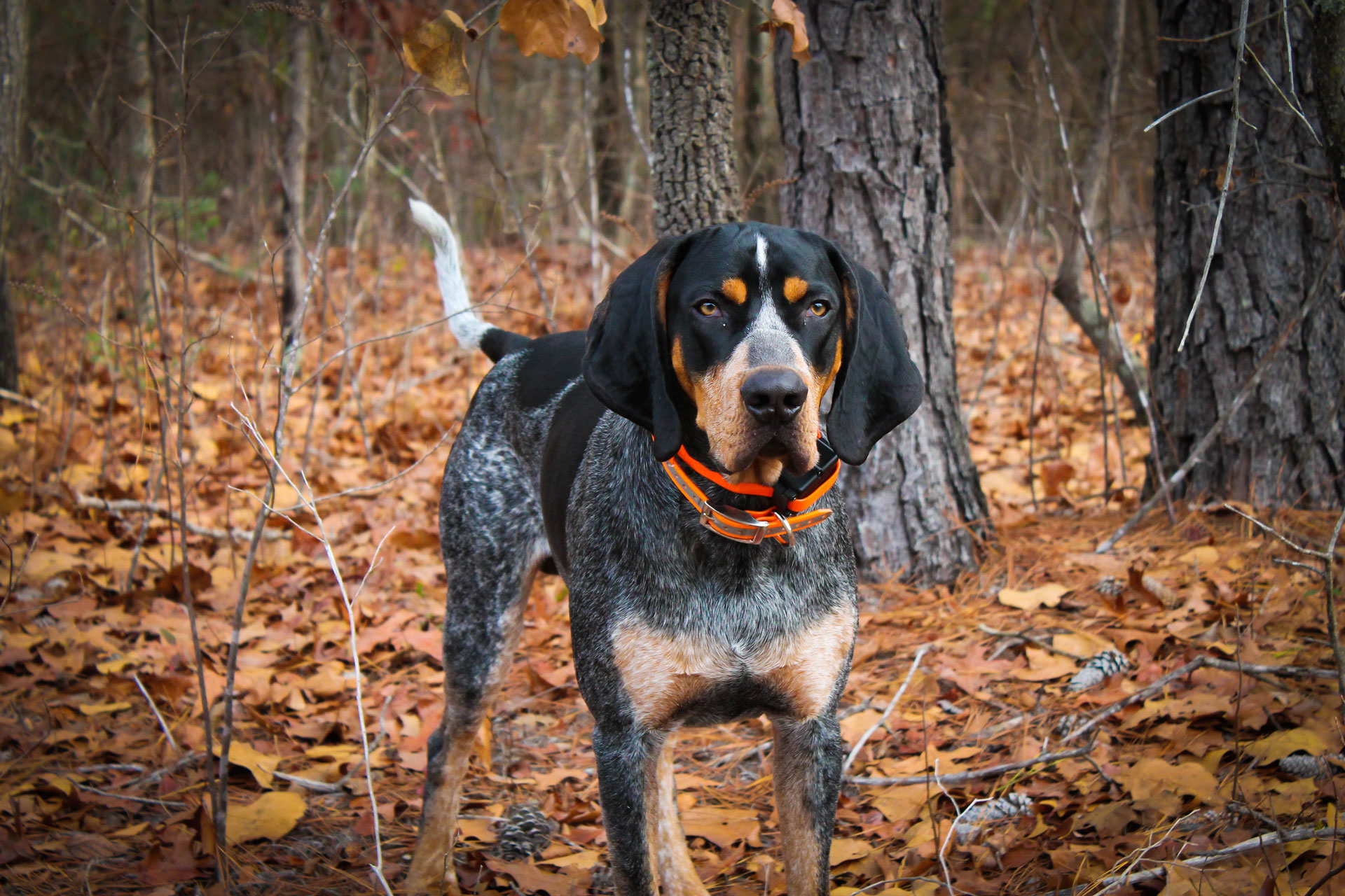 bluetick-coonhound-standing-by-woods