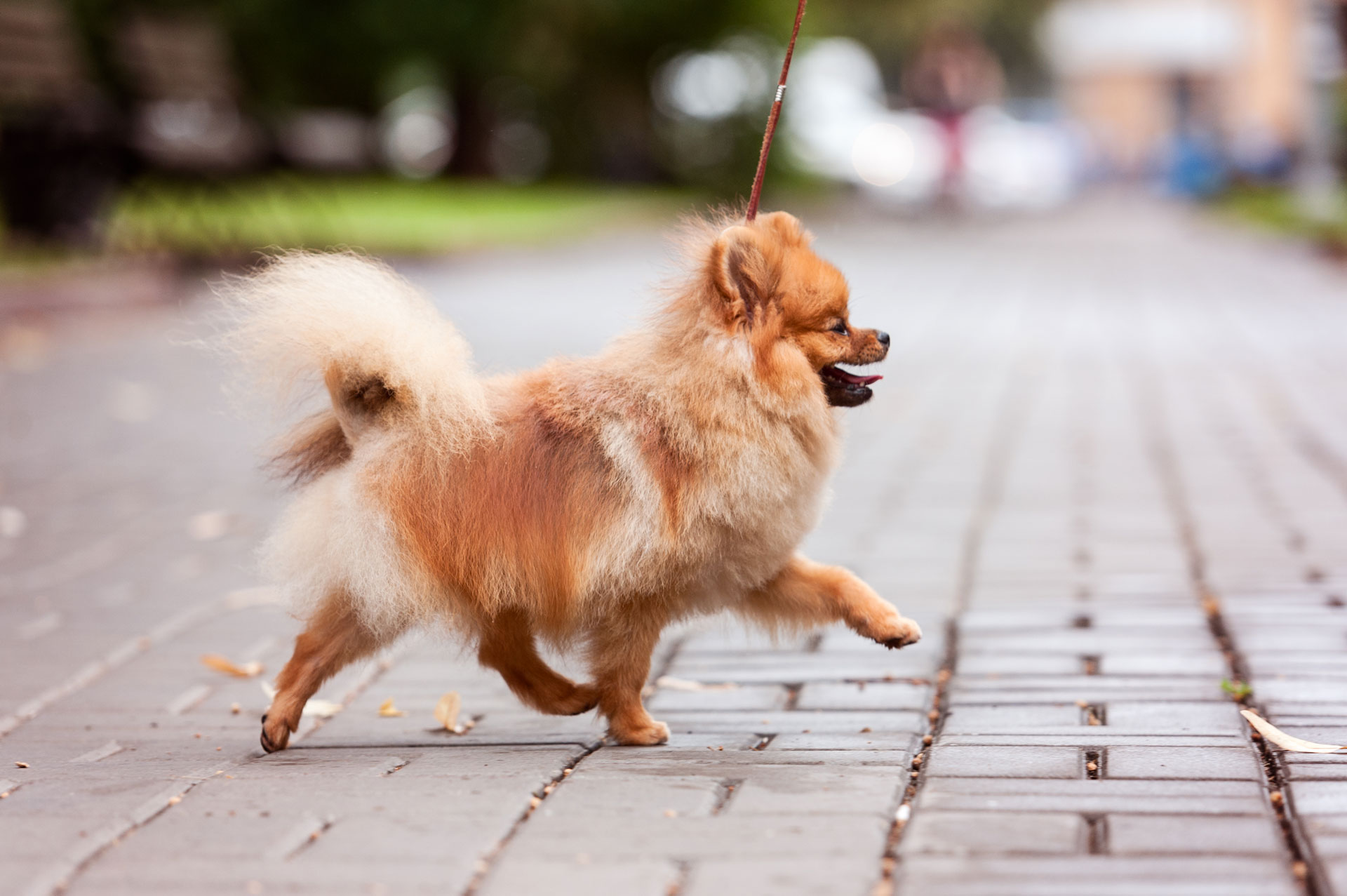Pomeranian spitz dog on walk outdoor
